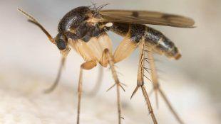 La mosca del sustrato es muy pequeña