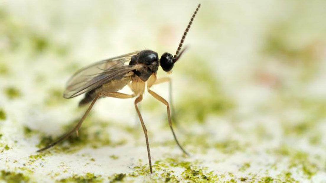 La mosca del sustrato deja sus larvas en la marihuana