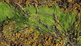 Las algas pueden ayudar a crecer a la marihuana.