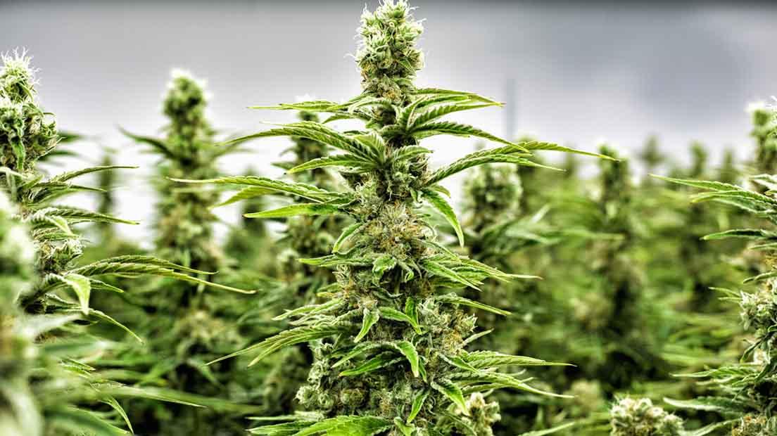 Las hormonas de la marihuana estimulan el crecimiento de raíces.