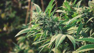 Las hormonas de la marihuana son importantes para el desarrollo de la planta.