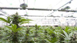 La dep light te permite controlar la luz del cultivo de Cannabis en exterior.