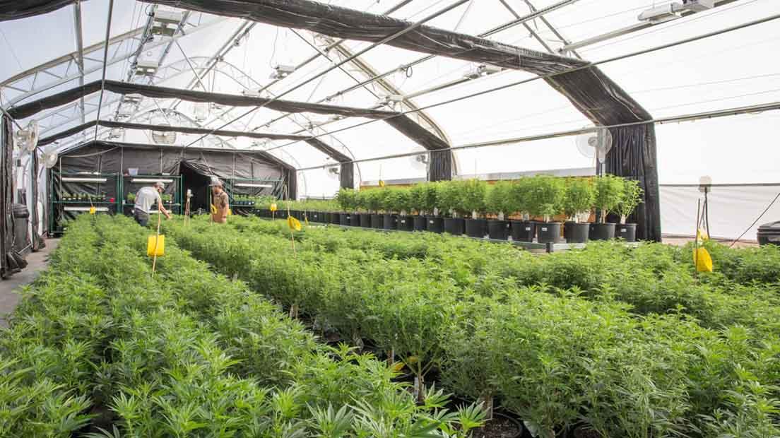 La privación de luz puede dar hasta 2 cosechas por temporada.