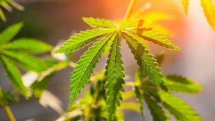 El sol es fundmanetal para el crecimiento de la marihuana en exterior.