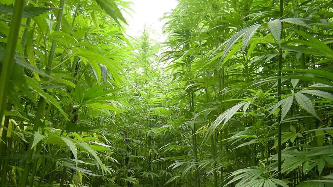 La marihuana necesita 12 horas de luz y 12 horas de sombra para florecer.