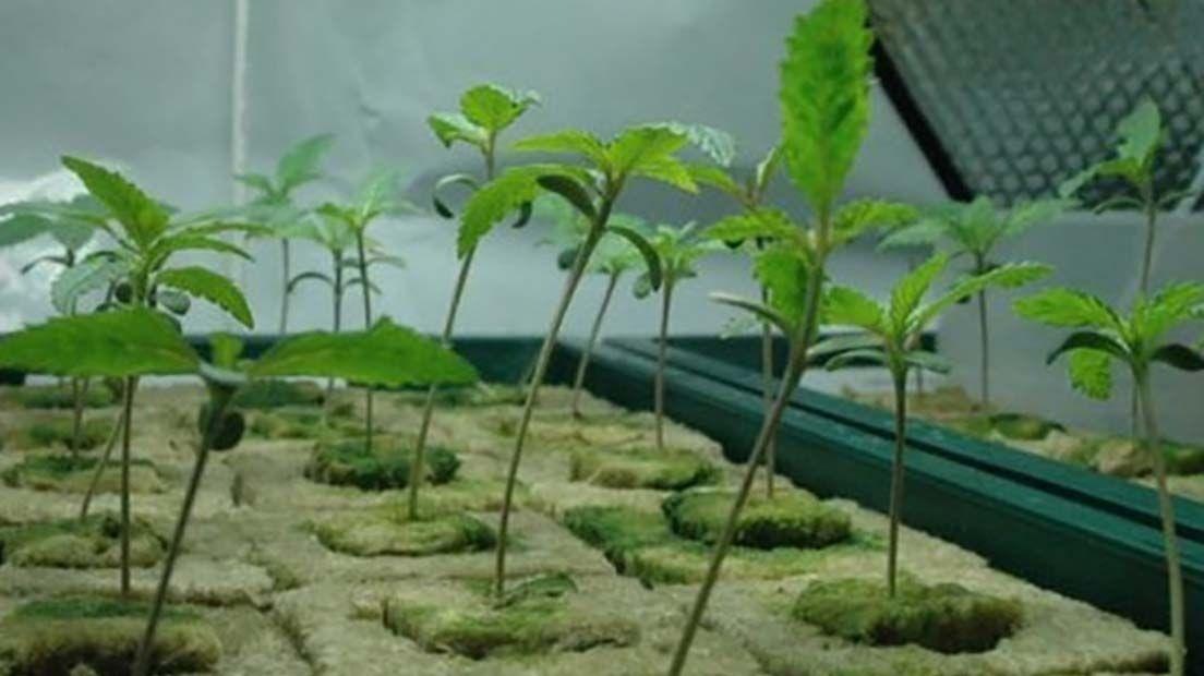 Los tallos estirados se producen cuando la marihuan recibe poca luz.