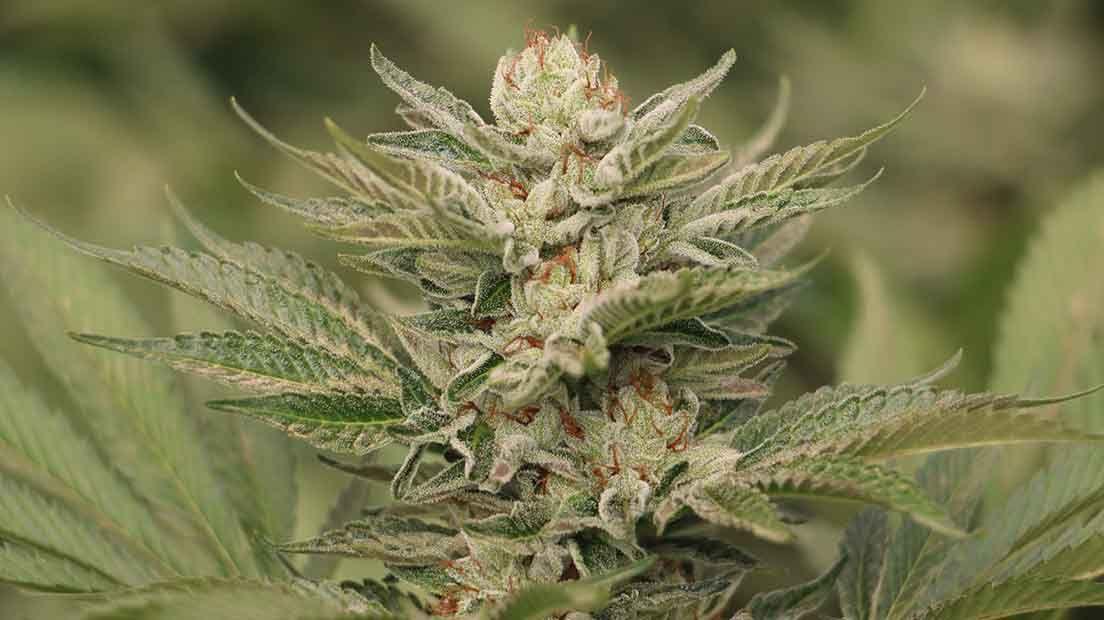La Sapphire Scout es una de las variedades de Cannabis con más potencia.