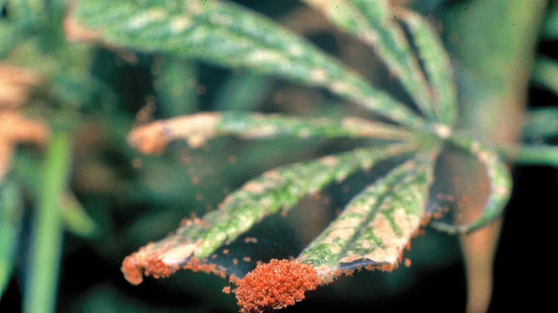 Los ácaros son una de las peores plagas para la marihuana y atacan a las hojas