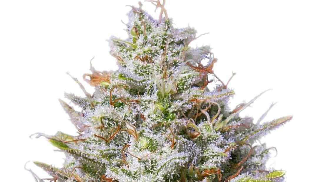 Blue Gelato 41 es una marihuana muy productiva y potente