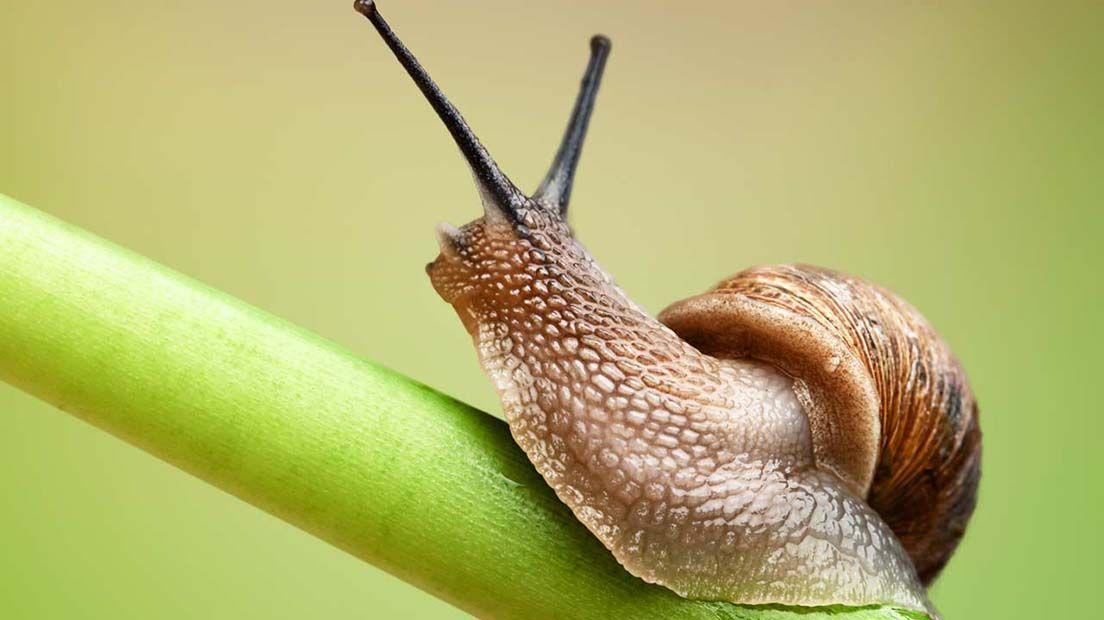 Los caracoles pueden llegar a devorar grandes partes de Cannabis