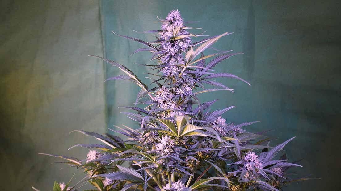 Las Crystal es un ejemplar resinoso de mejor marihuana autofloreciente 2020