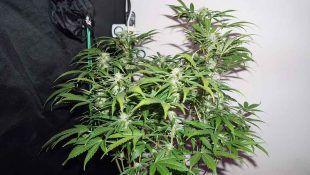 La Dedoverde Haze es una de la mejor marihuana sativa de 2020 por sus efectos estimulantes.