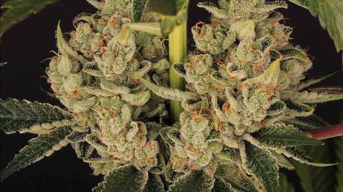 Si buscas la marihuana más potente de 2020, la Do SI Dos 33 está entre el top 5.