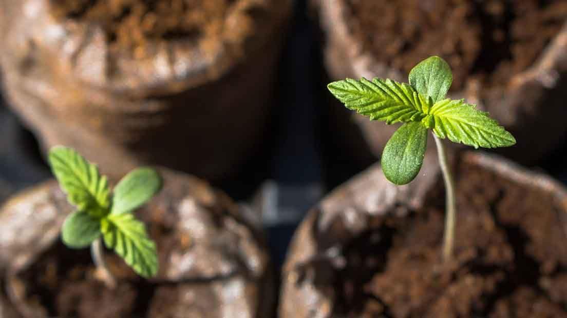 Una de las formas de escoger la mejor marihuana para cultivo de exterior es teniendo en cuenta la humedad y temperatura del lugar.