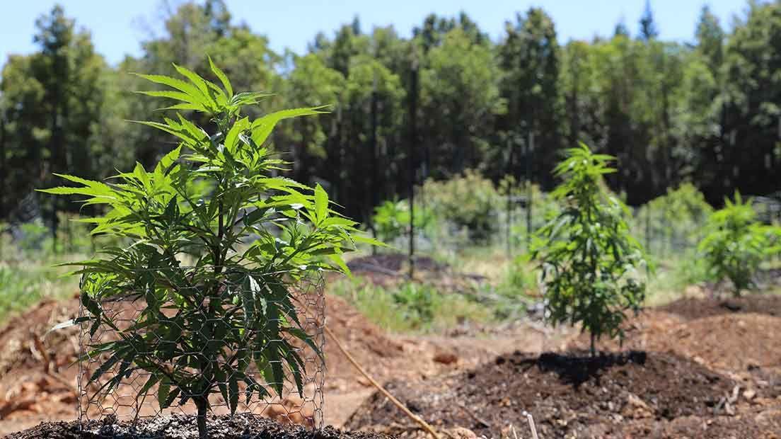 Para escoger la mejor marihuana para cultivo de exterior hay que tener en cuenta el clima.