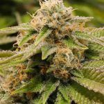 La Glookies es una marihuana que destaca por su sabor y potencia.