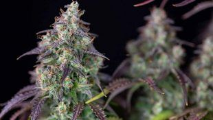 La lemon pie es dulce y es una de la mejor marihuana autofloreciente 2020