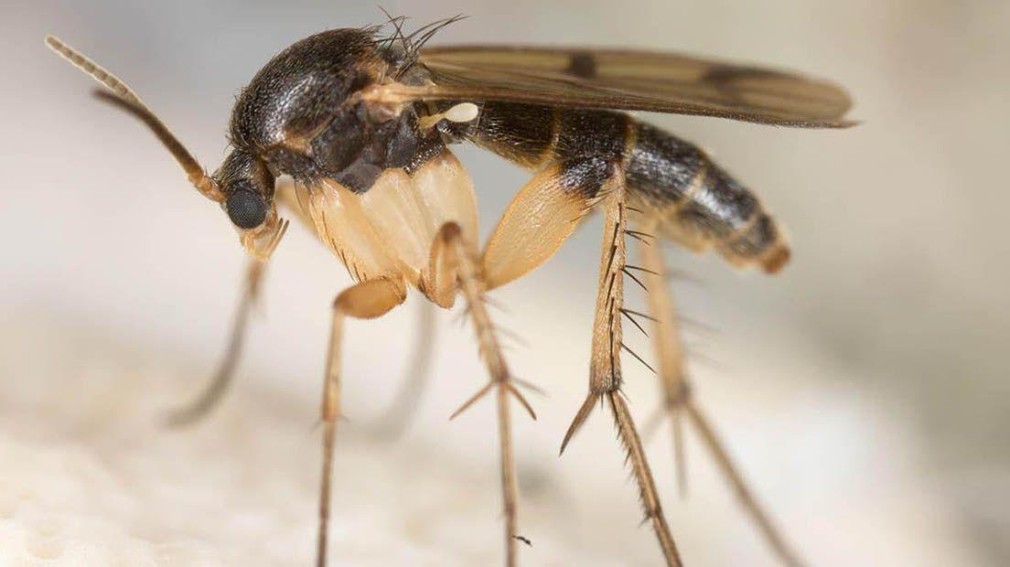 Los mosquitos del mantillo son de las peores plagas para la marihuana y se alimentan de hongos.