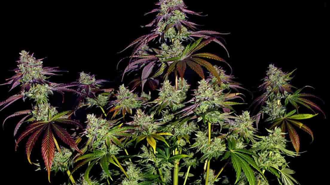 LA Mimosa Evo es una de la mejor marihuana de exterior de 2020 por su potencia y sabor.