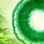 La ósmosis en la marihuana regula el intercambio de sales.