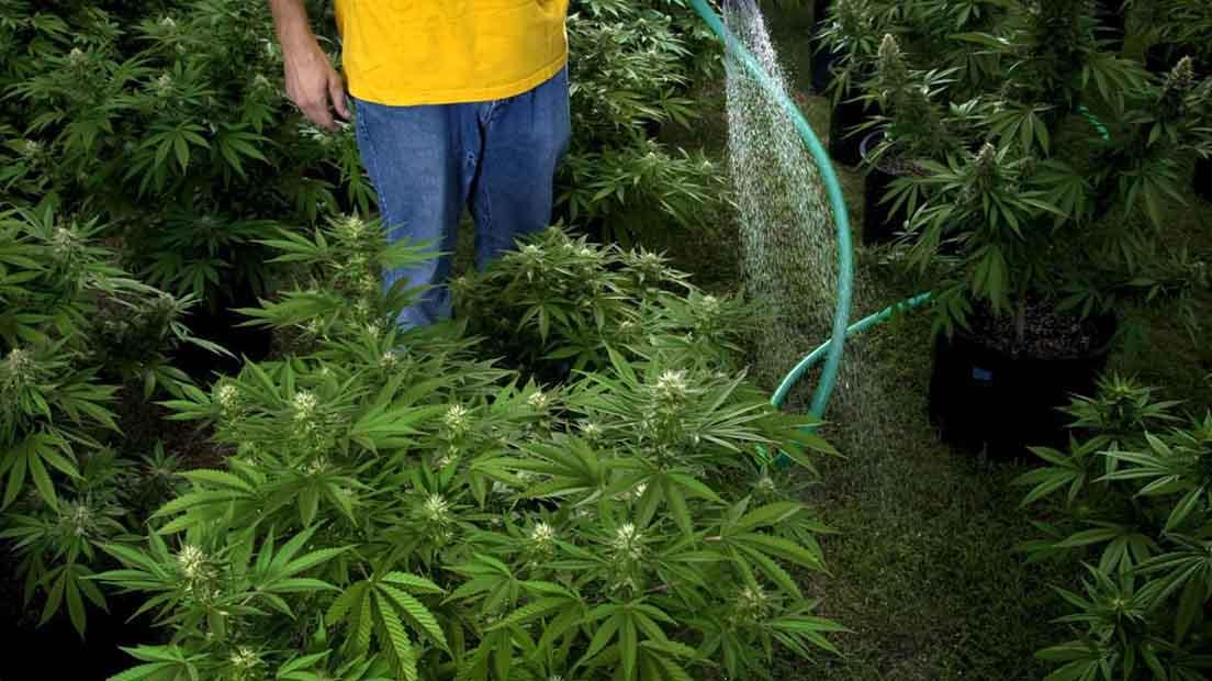 La ósmosis en la marihuana es un proceso fundamental para la absorción de nutrientes