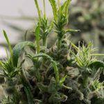 Regenerar la marihuana es una técnica por la que inducimos el crecimiento a una planta