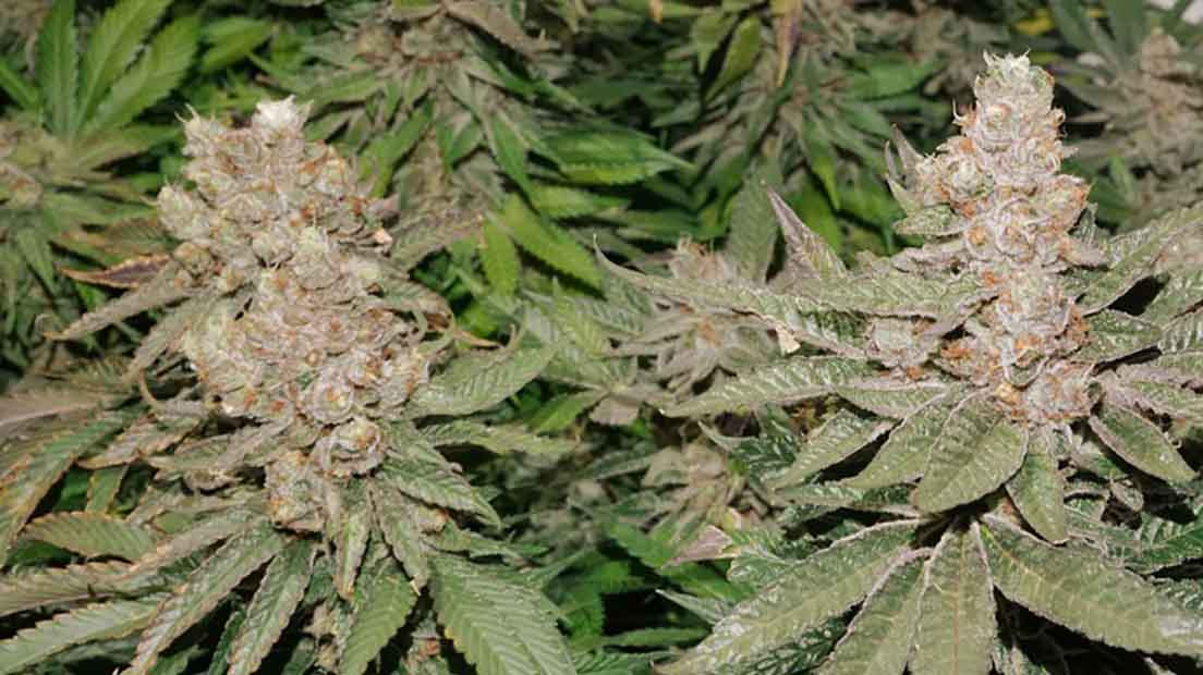 La Sugar Bomb Punch se encuentra dentro de la mejor marihuana de interior 2020.