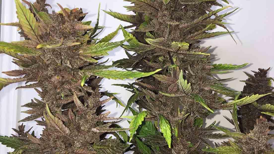 La marihuana con CBD alto de 2020 es querida por sus efectos terapéuticos.