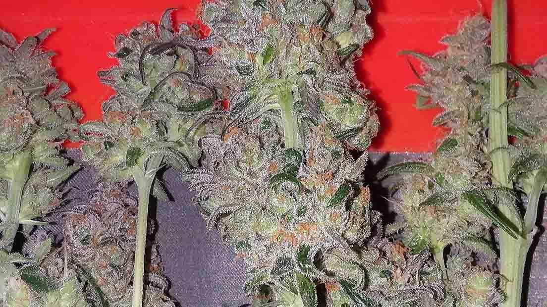 La mejor marihuana con CBD alto de 2020 cuenta con beneficios terapéuticos.