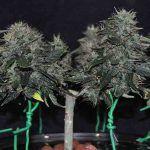 Podrás cultivar la mejor marihuana con CBD alto de 2020 en todos los medios de cultivo.