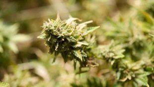 La Destroyer es la mejor marihuana Sativa pura
