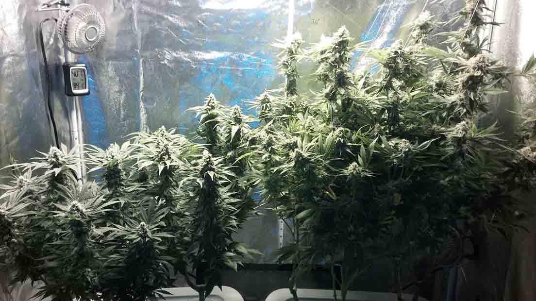 cultivar marihuana de diferentes variedades es la mejor forma de obtener cosechas diferentes.