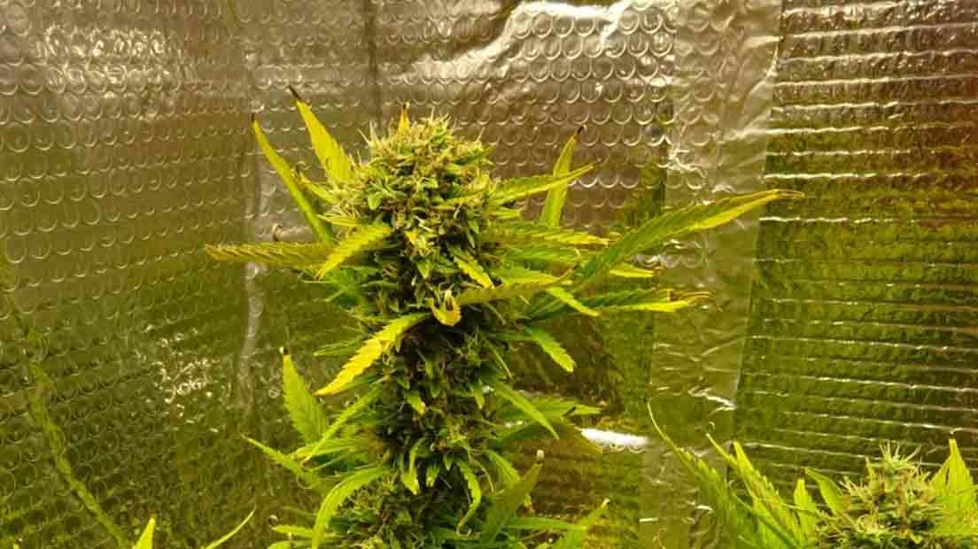 Las Mejores Marihuanas Americanas 2020 cuentan con mucho THC.