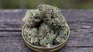 La Kerosene Krash es una de Las Mejores Marihuanas Americanas 2020