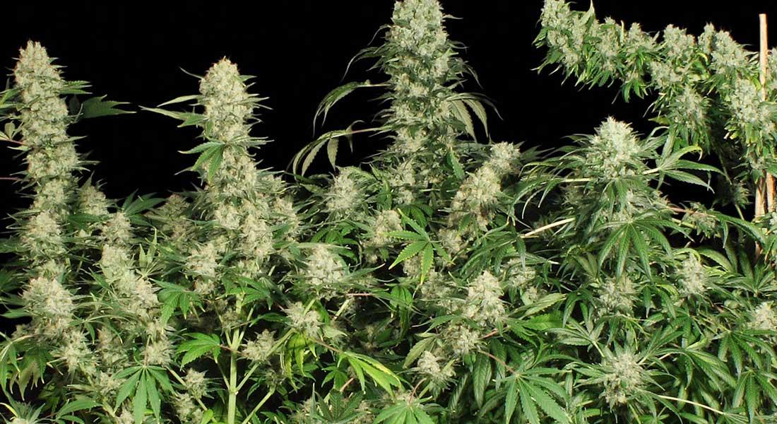 mejores marihuanas ak 47