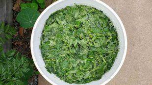 El té dompost es una buena forma de aplicar ortigas para la marihuana