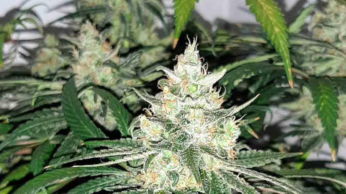 Las Mejores Marihuanas Americanas 2020 cuentan con floración rápida.