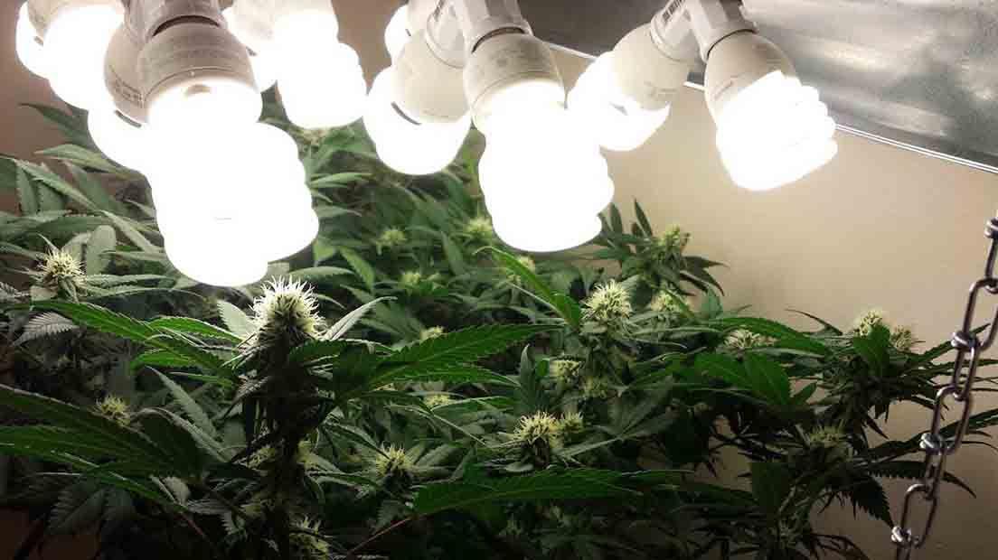Las luces CFL para Marihuana son estupendas para la etapa de germinación.