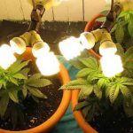Las Luces CFL para Marihuana son baratas y efectivas.