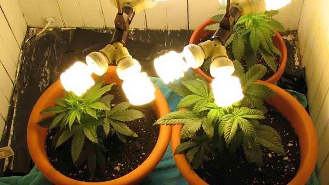 Las Luces LED baratas para Marihuana son baratas y efectivas.