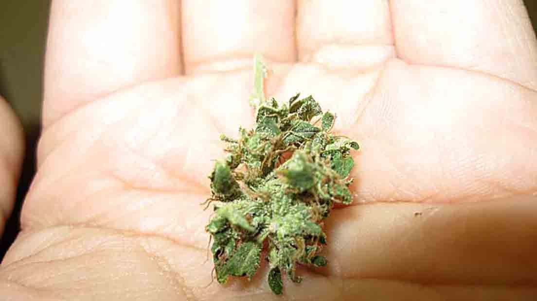Las flores diminutas de Cannabis dependen muchas veces de la genética.