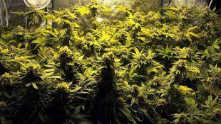 Prueba a aumentar las defensas naturales de la marihuana para mejorar su sabor.