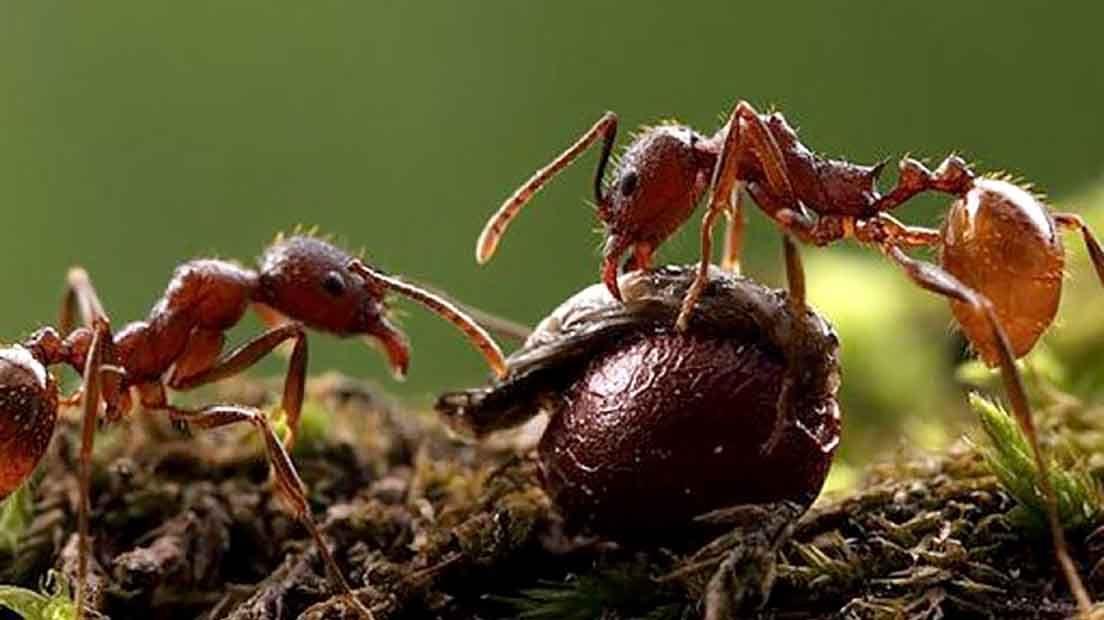 Las hormigas en a marihuana pueden ser perjudiciales.