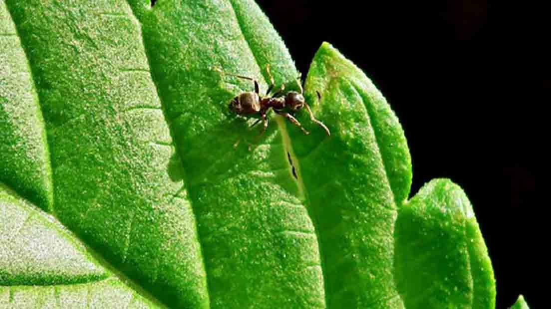 Las hormigas en la marihuana se pueden combatir con tierras diatomeas.