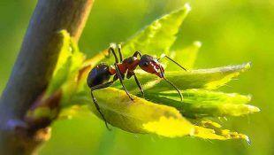 Las hormigas pueden destruir la planta de Cannabis.