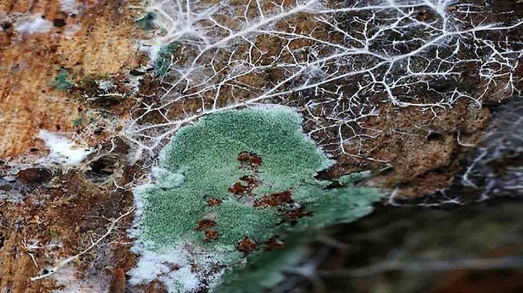 El hongo trichoderma harzianum en un tronco de árbol