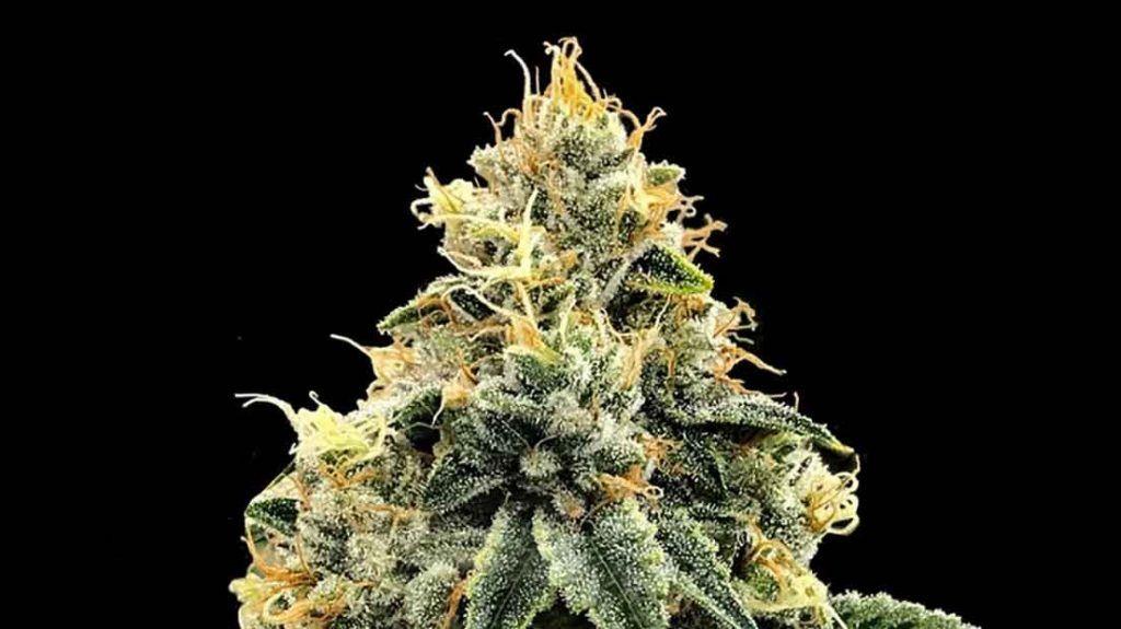 El legado de la marihuana de familia Kush