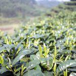El té es una de esas otras plantas que producen cannabinoides.
