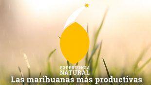 La marihuana mas productiva