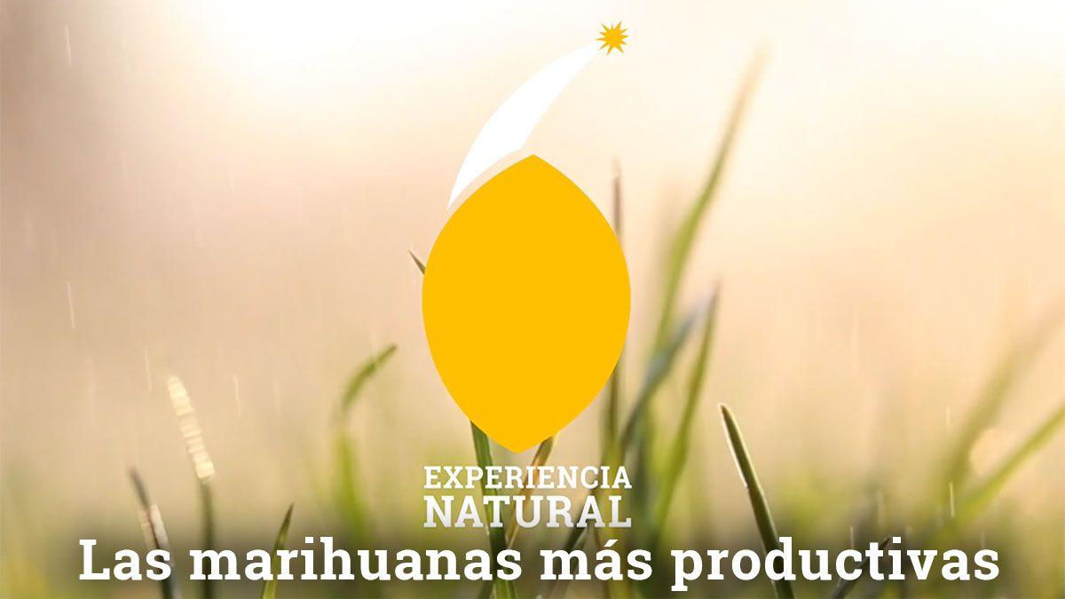 La marihuana más productiva   Cepas de rendimiento máximo